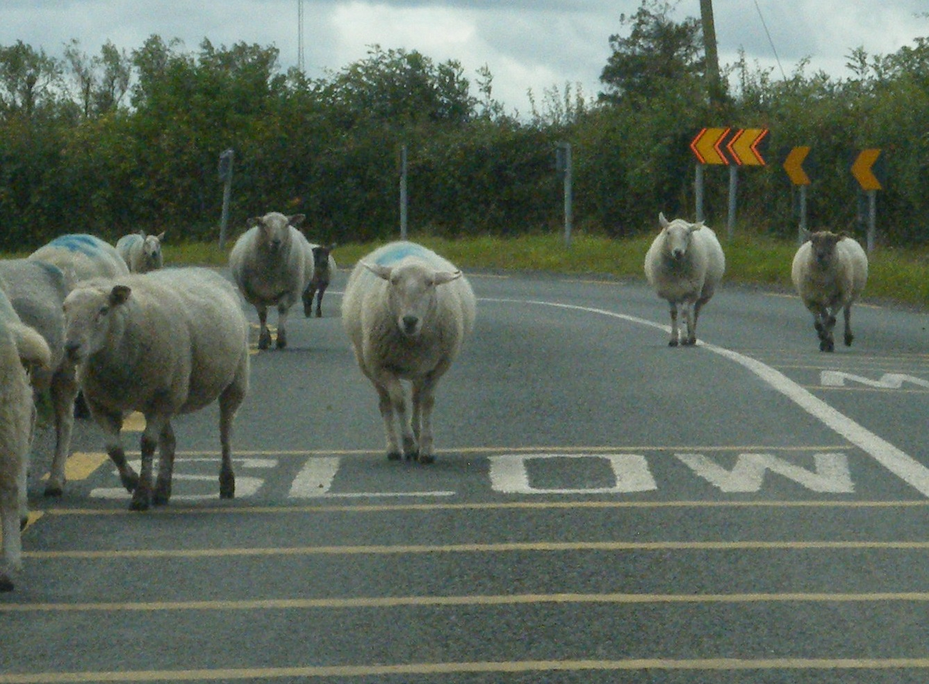 Image result for sheep on the road