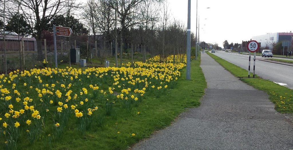 Daffodils at road side edge, Naas